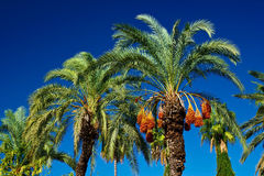 Date palms Royalty Free Stock Image