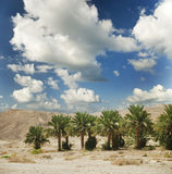 Date palms in an african oasis. Royalty Free Stock Photo
