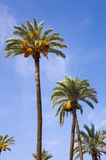 Date palms Royalty Free Stock Photo