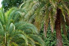 Date palms in arboretum Stock Photo