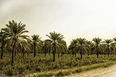 Date Palms & Cotton crop. A photo of date palms and cotton crop taken in Khairpur District, Sindh, Pakistan Royalty Free Stock Photography