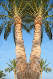 Date palms in Egypt Royalty Free Stock Images