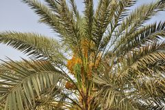 Date Palms Stock Photo