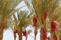 Date palms stock image