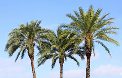 Date Palms i a Beautiful Tropical Sky Stock Photo