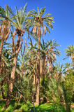 Date Palms in jungles, Tamerza oasis, Sahara Desert, Tunisia, Af Stock Photo