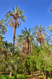 Date Palms in jungles, Tamerza oasis, Sahara Desert, Tunisia, Af Royalty Free Stock Photos