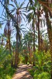 Date Palms in jungles, Tamerza oasis, Sahara Desert, Tunisia, Af Royalty Free Stock Photo