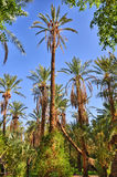 Date Palms in jungles, Tamerza oasis, Sahara Desert, Tunisia Royalty Free Stock Photos