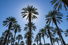 Date Palms. Many date palms with the sun behind one Royalty Free Stock Photo