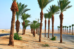 Date palms. Near Dead Sea Royalty Free Stock Photography