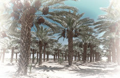 Date Palms Royalty Free Stock Images