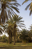 Date palms Royalty Free Stock Photography