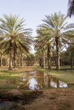 Date palms Stock Photography