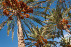 Date palms with ripe fruit Stock Photos