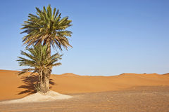 Date palms in sand dunes. With blue sky Royalty Free Stock Photography
