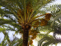 Date Palms on seafront in Benidorm Spain Royalty Free Stock Image