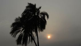 Date palms silhouette at sunset. Footage of silhouette of date trees waving in the wind during dark cloudy sky sunset stock video footage