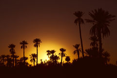 Date palmtrees with sunset Stock Photography
