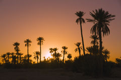 Date palmtrees with sunset Stock Photos