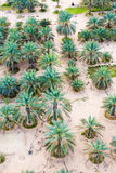 Date Plantation In The Desert Royalty Free Stock Photography