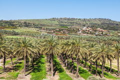 Date plantations in Israel Royalty Free Stock Photo