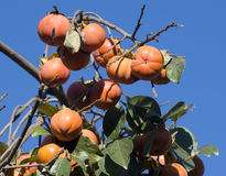 Date plum or persimmon Royalty Free Stock Image