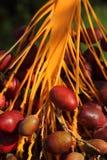Date rosse del Marocco che maturano nel sole Fotografie Stock