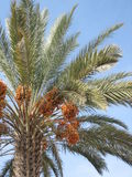 Date Tree in Morocco Stock Image
