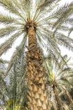 Date tree Royalty Free Stock Photos