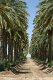 Date Trees. Where dates are harvested in Dateland, California, USA. Dates are a healthy natural source of potassium Stock Photos