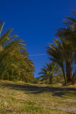 Date trees in Death Valley Nation Park, California Royalty Free Stock Photos