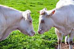 Date two animals: cow with bull Royalty Free Stock Photo