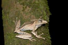 Datei-ohriger Baum-Frosch Stockbild