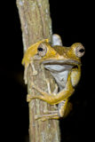 Datei-ohriger Baum-Frosch Lizenzfreie Stockbilder