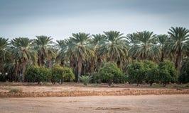 Datera palmträd samman med apelsinträd i sydvästliga USA Arkivbilder