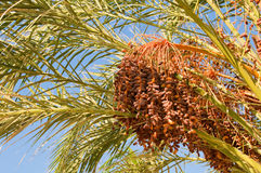Dates branch Royalty Free Stock Image