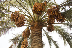 Dates on a date palm tree Stock Photography