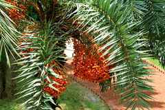 Dates on date palm tree. The date palm is a delicious staple food available in Indus Valley and Middle East area for the past thousands of years. It take 4 to 8 Royalty Free Stock Images