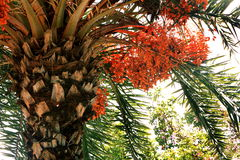 Dates on date palm tree. The date palm is a delicious staple food available in Indus Valley and Middle East area for the past thousands of years. It take 4 to 8 Royalty Free Stock Image