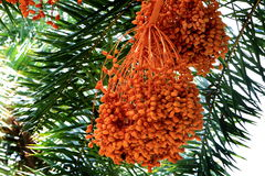 Dates on date palm tree. The date palm is a delicious staple food available in Indus Valley and Middle East area for the past thousands of years. It take 4 to 8 Stock Photography