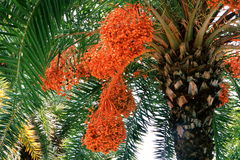 Dates on date palm tree Stock Photo