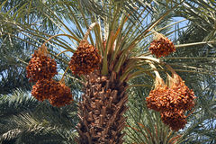 Dates. Date Palm Tree Fruit, Jericho, Israel Royalty Free Stock Images