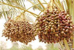 Dates fruit. Dates clusters hanging down from the palm tree Royalty Free Stock Photography