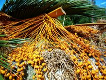 Dates fruit bunches royalty free stock image