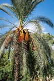 Dates growing on a palm Stock Photography