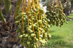 Dates Growing on Trees Royalty Free Stock Photography
