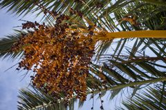 Dates Hanging from Branches of Fruit Bearing Palm Tree. Fresh Green Leaf Fronds Screening the Sun from the Blue Sky. Some Crops are Ripe Ready to be Eaten stock photo