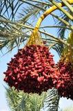 Dates harvest. Stock Image