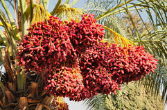 Dates harvest. Royalty Free Stock Photos